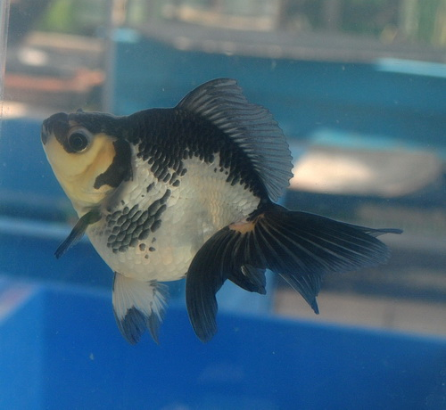 Ryukin Hermantogoldfish