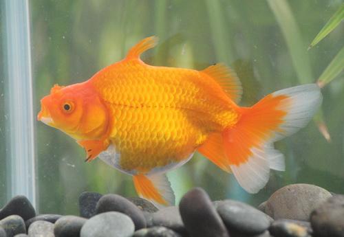 A Sea-Horse? | hermantogoldfish
